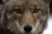 Coyote in arrivo!